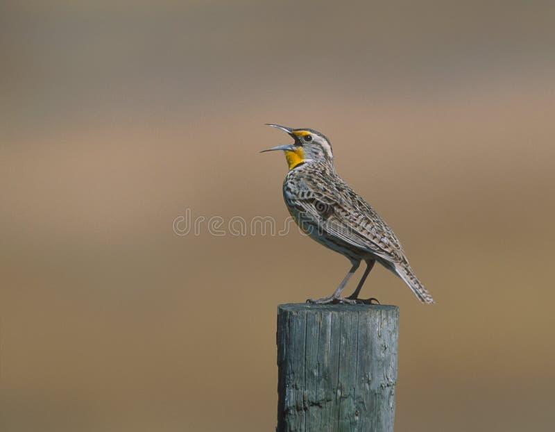 meadowlark西部neglecta的雀形目鸟 库存照片