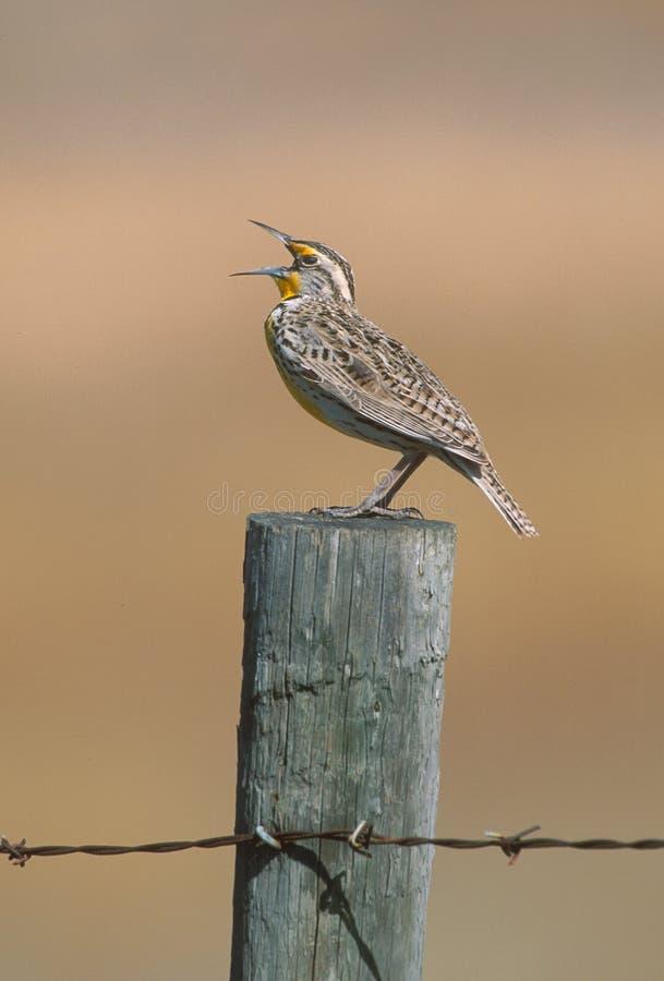 meadowlark西部neglecta的雀形目鸟 库存图片