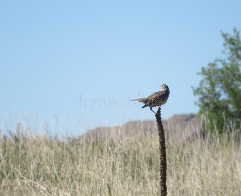 Meadowlark στην ακίδα στον τομέα στοκ εικόνα με δικαίωμα ελεύθερης χρήσης