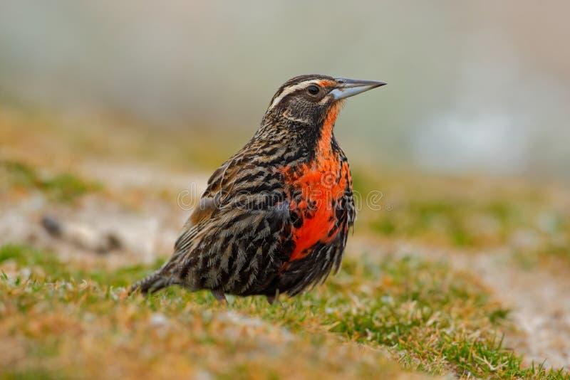 Meadowlark Long-coupé la queue, falklandica de loyca de Sturnella, île de Saunders, Falkland Islands images libres de droits