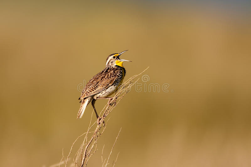 Meadowlark occidentale fotografia stock