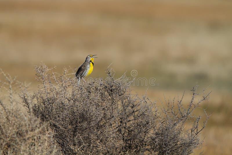 Download Meadowlark Occidentale, Neglecta Dello Sturnella Fotografia Stock - Immagine di america, canti: 30826918