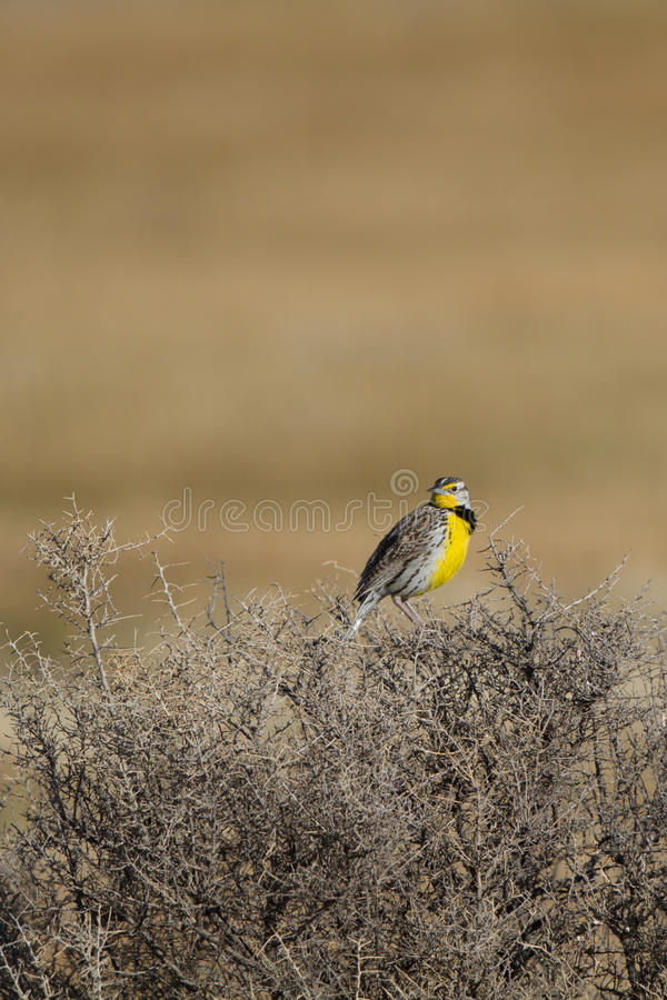 Download Meadowlark Occidentale, Neglecta Dello Sturnella Immagine Stock - Immagine di wildlife, dichiara: 30826919