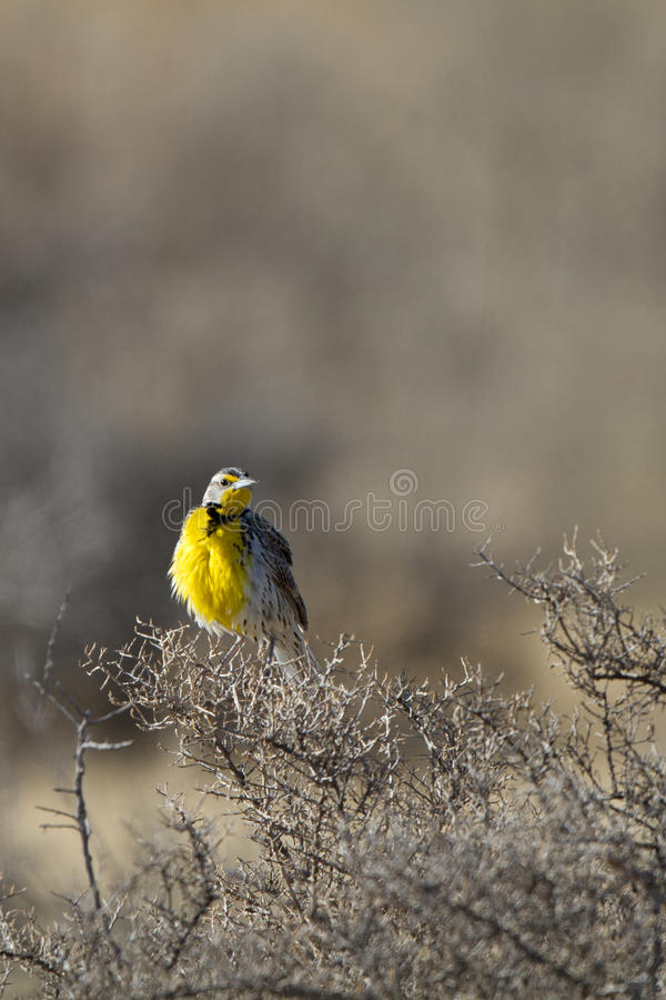 Download Meadowlark Occidentale, Neglecta Dello Sturnella Immagine Stock - Immagine di uccello, rifugio: 30826921