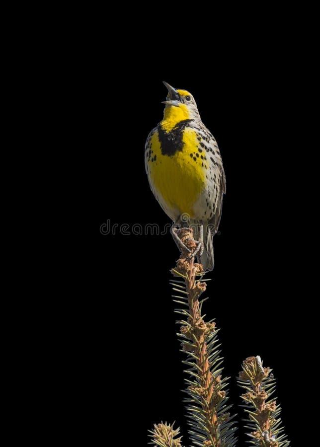 Meadowlark singing isolated black stock photo