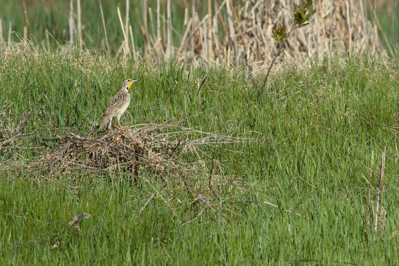 meadowlark western zdjęcia royalty free