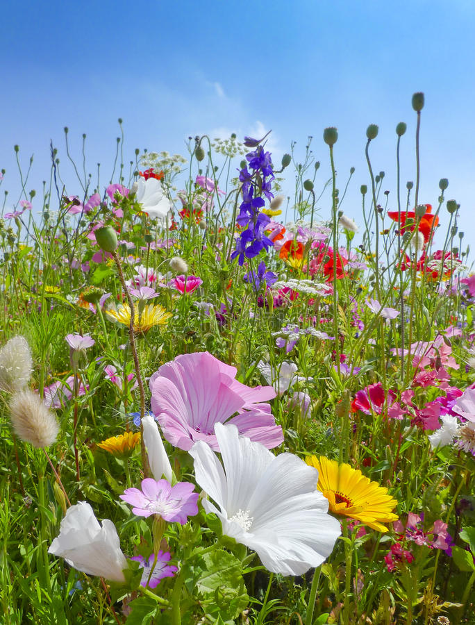 Download Meadows Flowers And Blue Sky Stock Photo - Image: 25982288