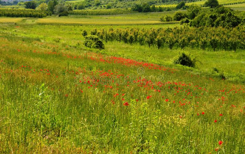 Meadows in flowers with poppy. Meadows in flowers with red poppy stock photo