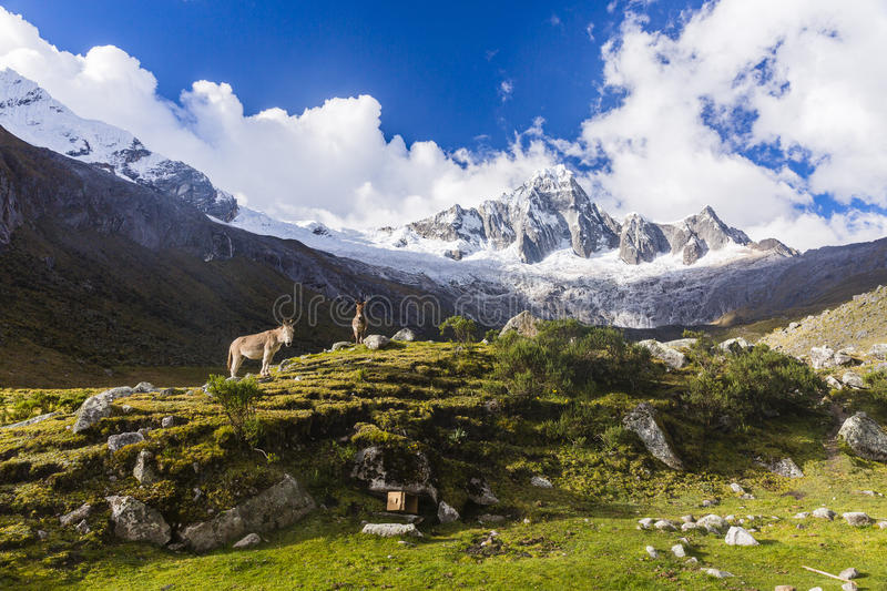 Meadows, mules and snow caped mountains in Huascaran National Park. At Huaraz, Peru stock photography