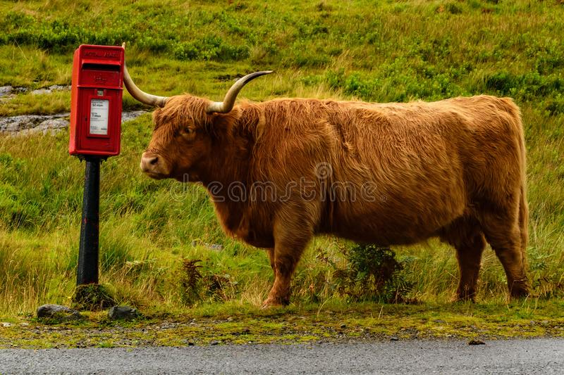 At last! The Highland cow found the mailbox stock photos
