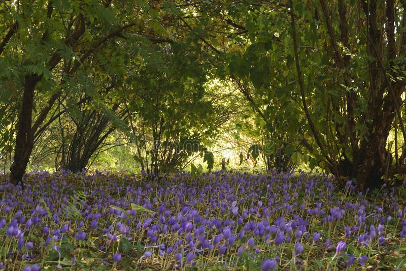Meadows with purple crocuses in a forest royalty free stock image