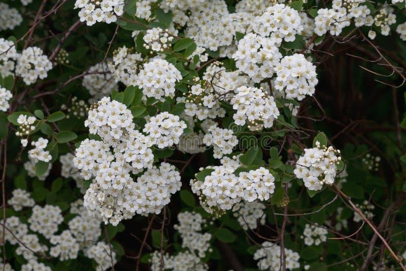 Meadowsweet开花的灌木 免版税库存图片