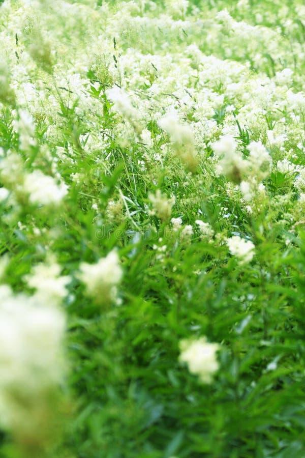 Meadowsweet photos libres de droits