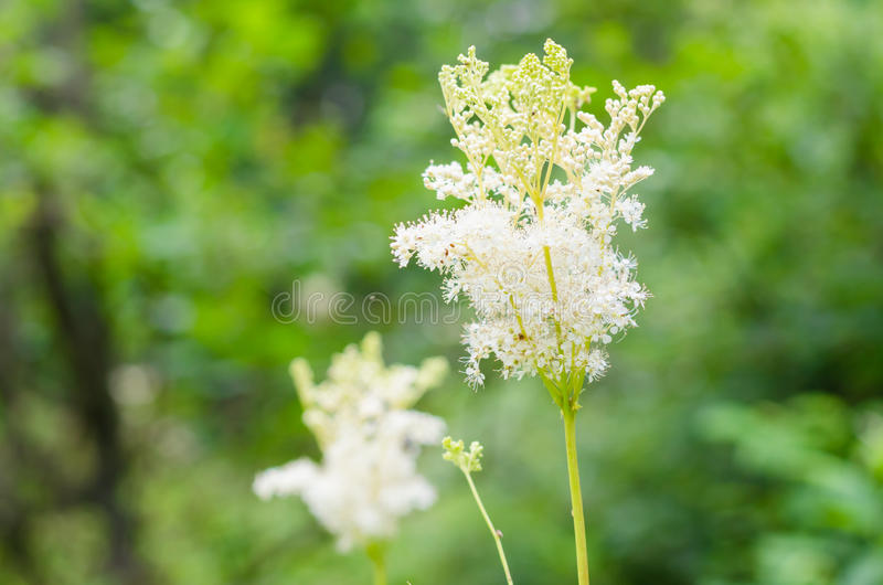 Meadowsweet (Filipendula ulmaria) stock images