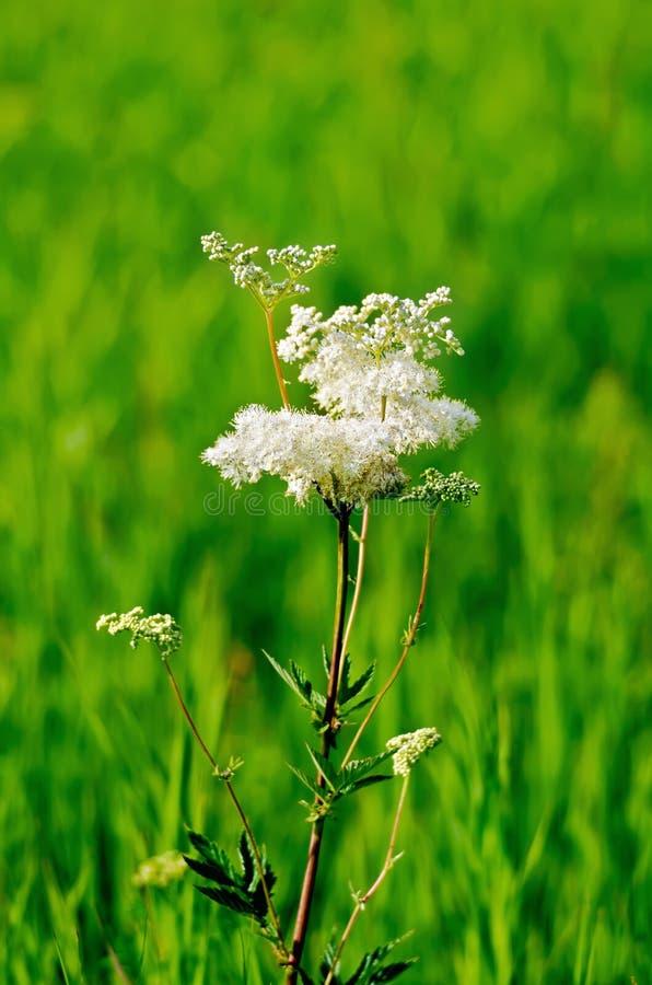 Meadowsweet op een groene weide stock afbeelding