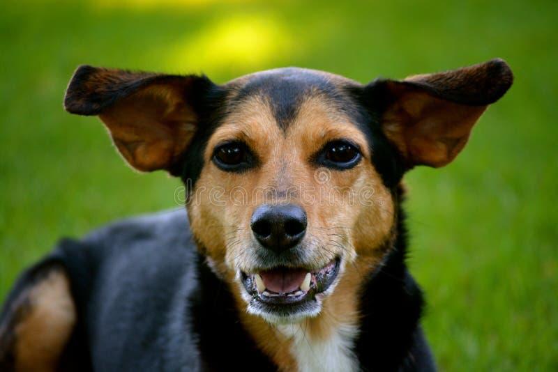 meagle分钟pin小猎犬被混合的品种狗. 敌意, 微型.