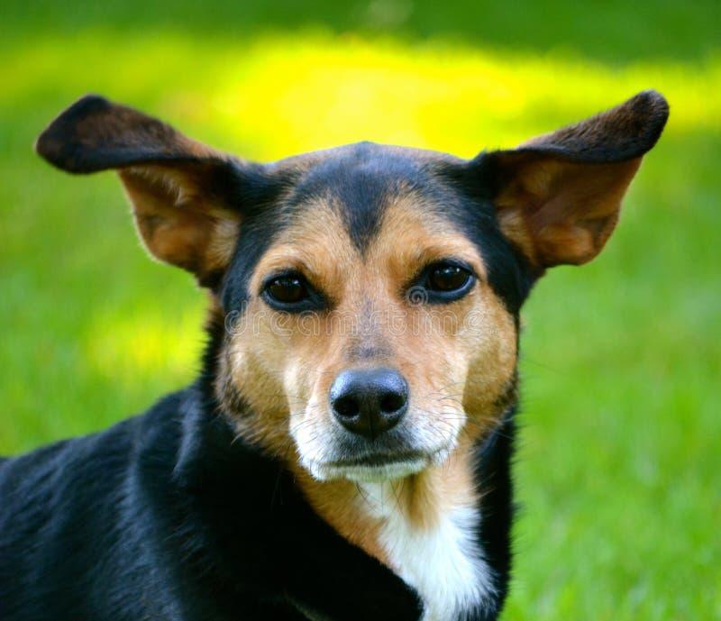 Meagle-Min-Pin Beagle Mixed Breed Dog royalty free stock photo