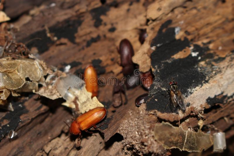 Meal worm beetles meal worm farm. Meal worms are used for fishing, reptiles and amphibian foods and an alternate protein for humans stock photo