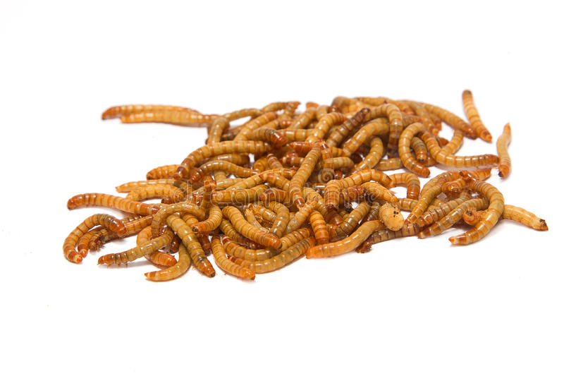 Meal worms, animal meal stock photos