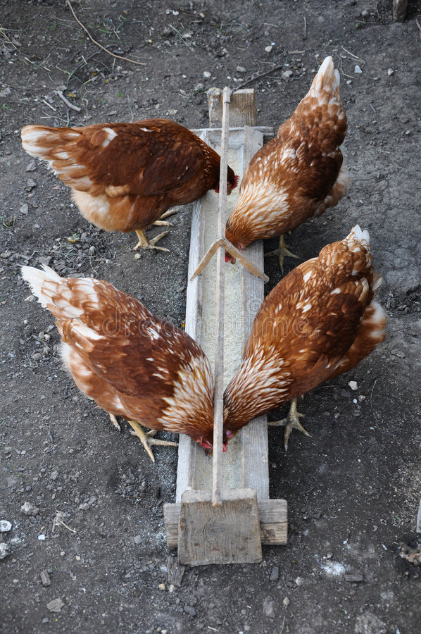 Mealtime per il pollo fotografie stock libere da diritti