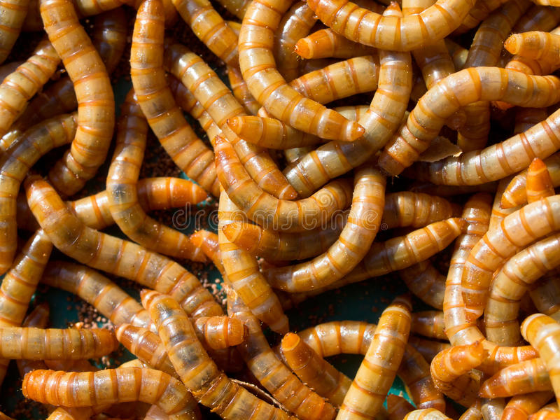 Mealworm abstract close up royalty free stock images