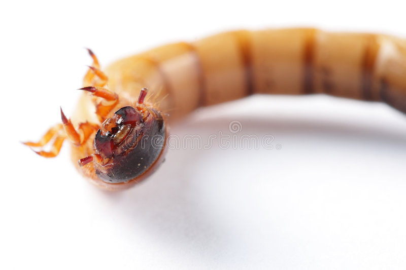Download Superworm isolated stock image. Image of close, repelent - 6210287