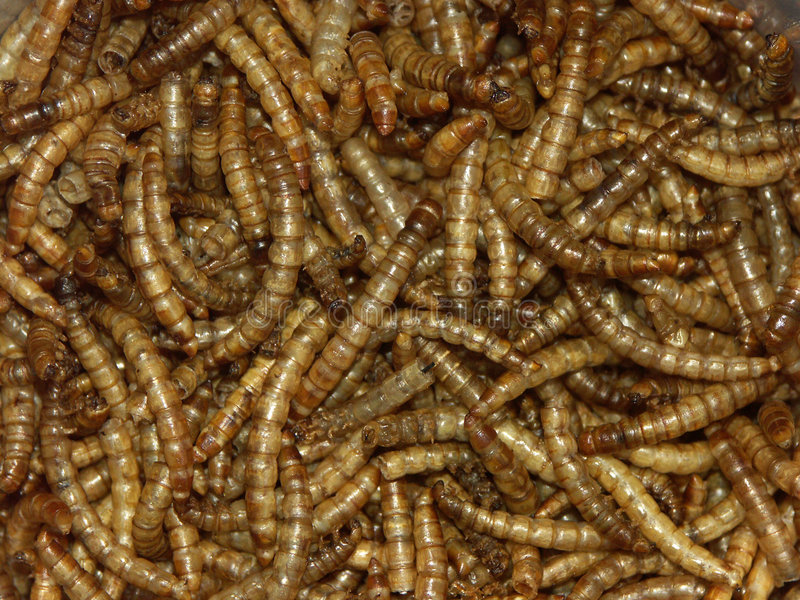 Mealworms stock image image of catch crawly meal for Mealworms for fishing