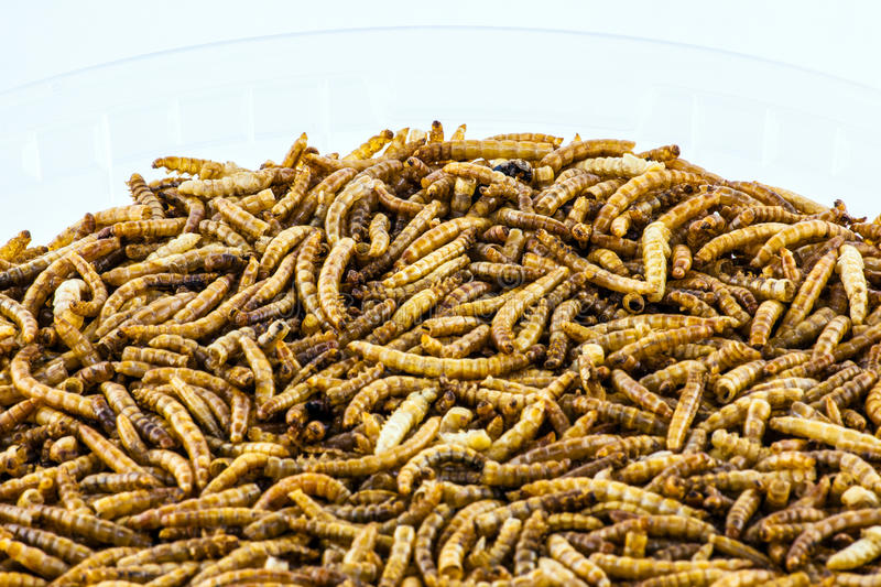 Mealworms royaltyfria foton
