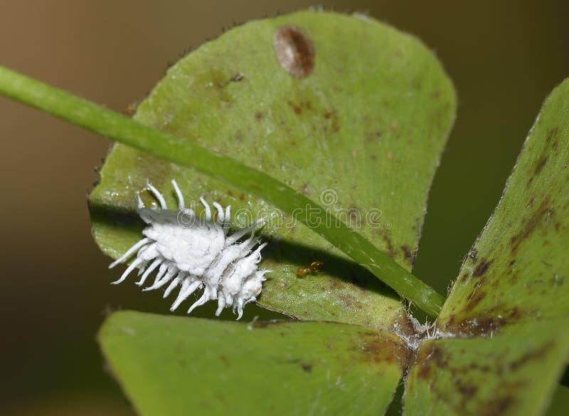 Mealybug Ladybird. Larva - Cryptolaemus montrouzieri Australian Ladybird larva used as biological pest control of Mealy-bugs in greenhouses royalty free stock photography