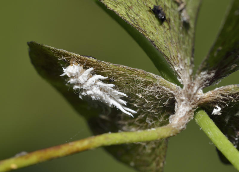 Mealybug Ladybird. Larva - Cryptolaemus montrouzieri Australian Ladybird larva used as biological pest control of Mealy-bugs in greenhouses stock photo