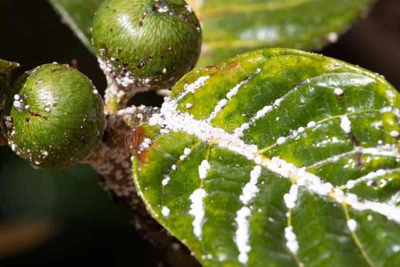 Mealybug na liść figach Rośliny korówki insekta infestation fotografia royalty free