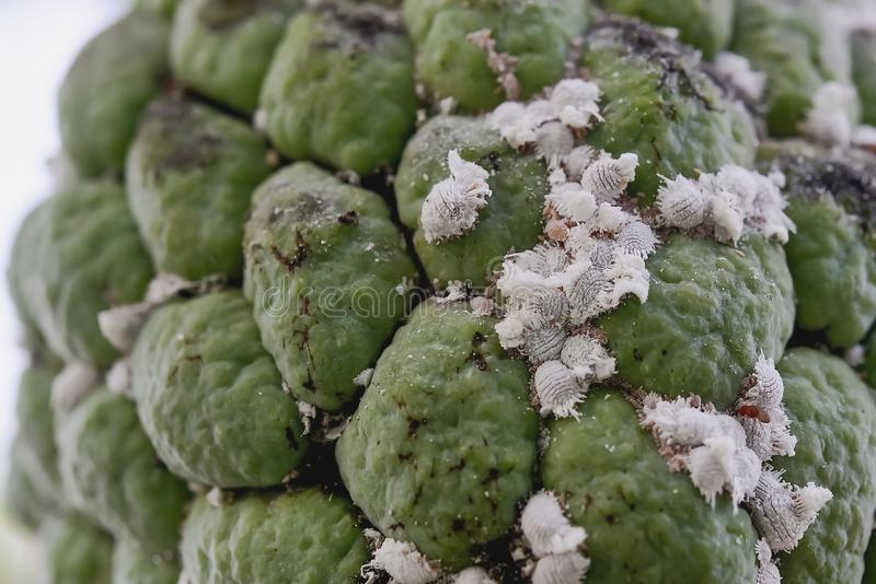 Flour moths. Mealybugs are on the apple fruit, which results in a lesser thickness, and the skin is not beautiful. Because of being flushed starch, eating royalty free stock image