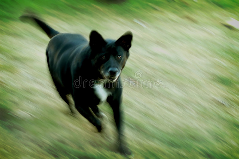 Mean Dog Royalty Free Stock Photos
