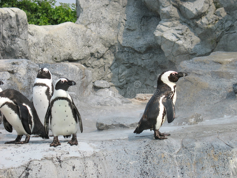 Mean Penguins. Four penguins - one doesn't seem to be socially accepted in the group. Great concept image royalty free stock photo
