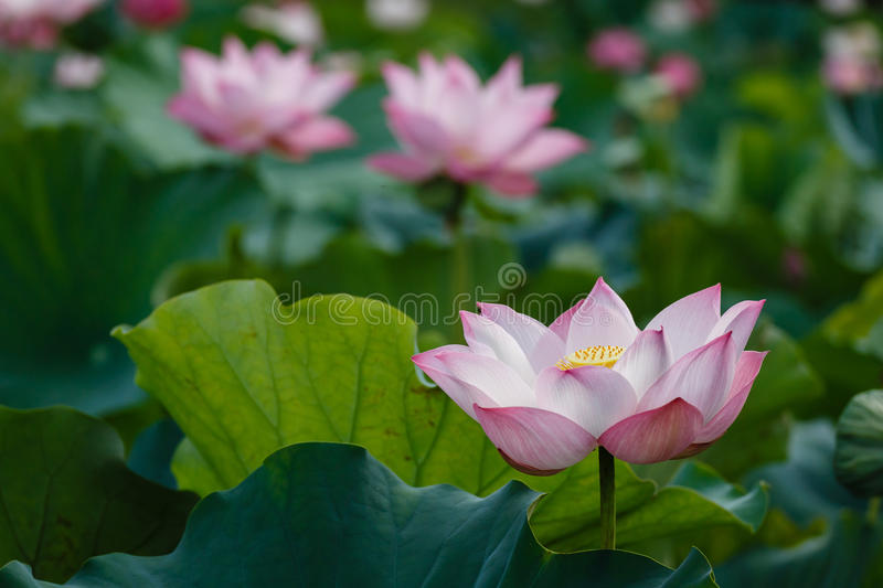 The Meanings of Lotus royalty free stock image