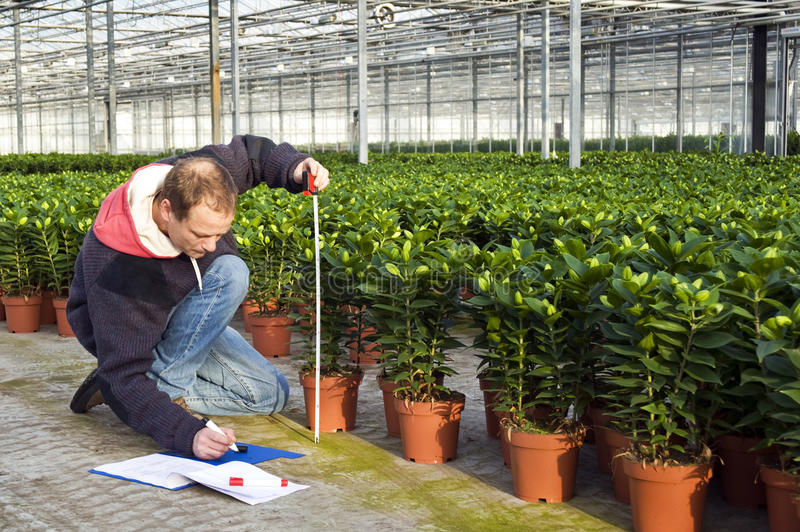 Measuring the height of glasshouse plants. A man measuring the heigth of glasshouse plants whilst takeing notes in a clipboard royalty free stock photos