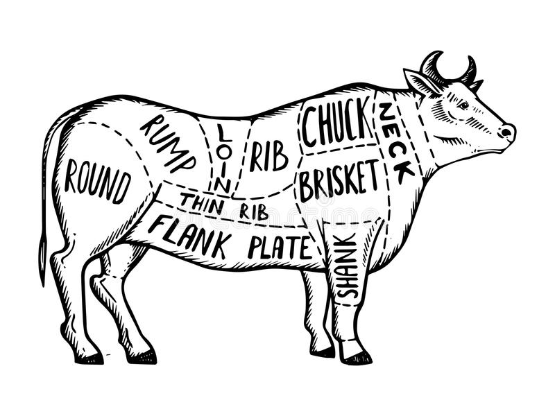 Meat diagram cow engraving vector. Illustration. Scratch board style imitation. Black and white hand drawn image vector illustration