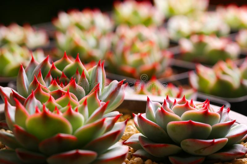 Succulent plants state is very beautiful. Meaty plant refers to the higher plants in vegetative organs hypertrophy, usually with root, stem and leaf three kinds stock photo
