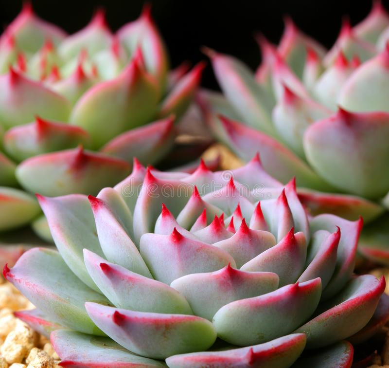 Succulent plants state is very beautiful. Meaty plant refers to the higher plants in vegetative organs hypertrophy, usually with root, stem and leaf three kinds royalty free stock photos