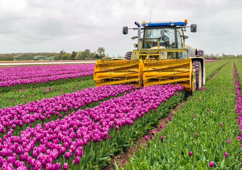 Meccanizzato tagliando i capolini in un tulipano sistemi fotografia stock libera da diritti