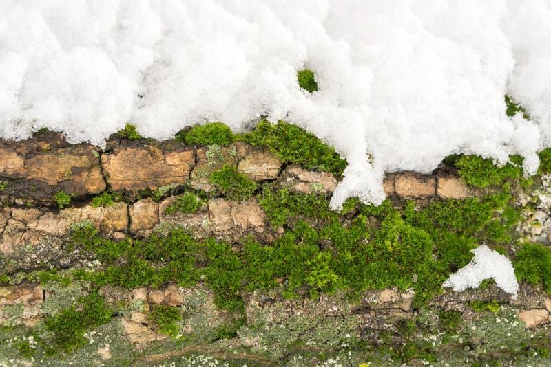 Mech na drzewnym bagażniku pod śniegiem, tło wizerunek Zamarznięty liszaj z gałąź w lesie zdjęcia royalty free