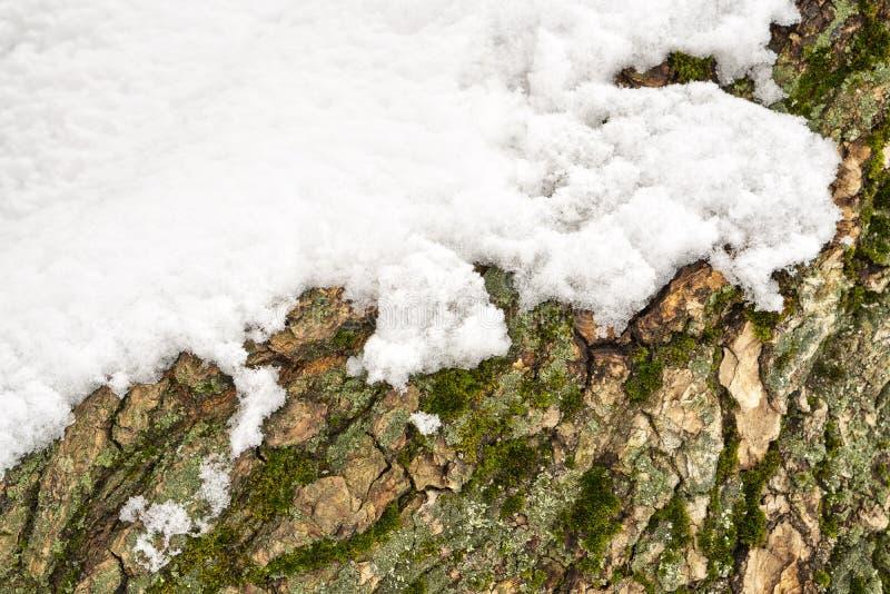 Mech na drzewnym bagażniku pod śniegiem, tło wizerunek Zamarznięty liszaj z gałąź w lesie fotografia stock