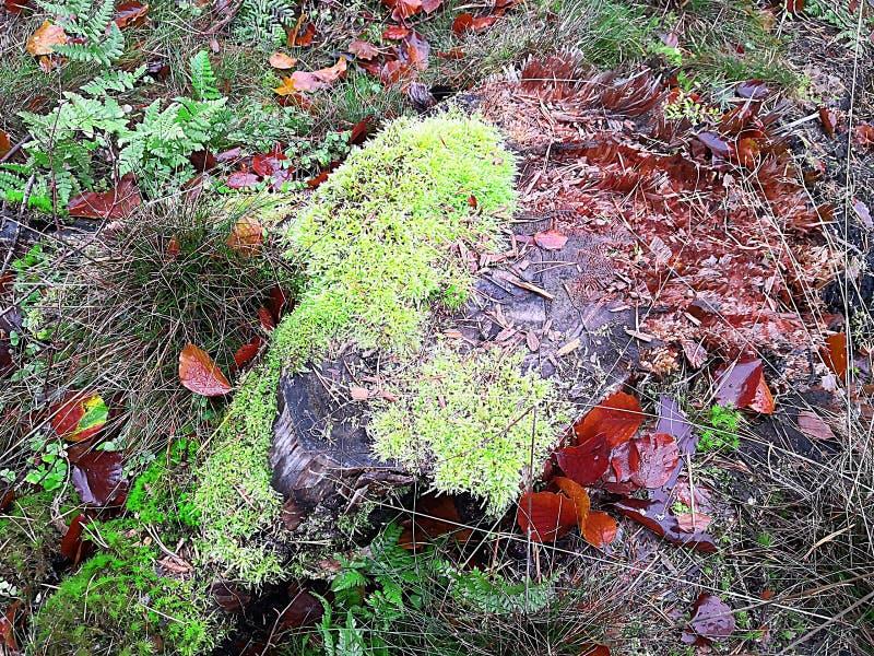 Mech na kamieniu Jesieni fotografia w wczesnym poranku po deszczu, zdjęcie stock