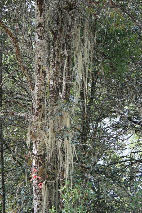 Mech r na drzewie w lesie blisko Paro (Bhutan) zdjęcie stock