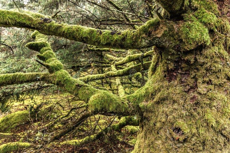 Mech zakrywać kończyny na starym drzewie fotografia royalty free