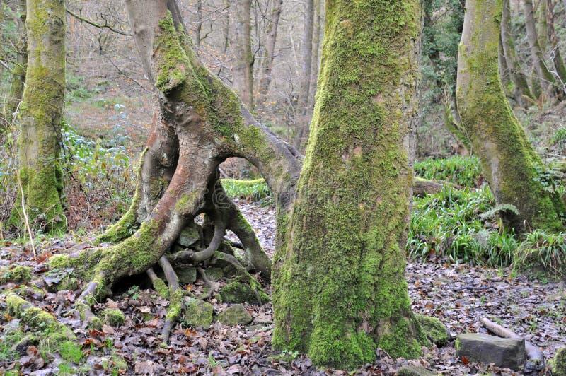 Mech zakrywał bukowych drzewnych bagażniki z kręconymi korzeniami w mglistym zima lesie obrazy stock