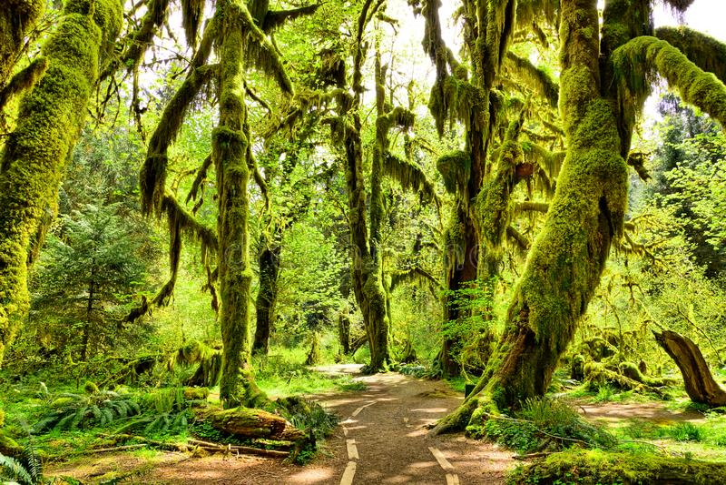 Mech zakrywał drzewa w Hoh lesie tropikalnym, Olimpijski park narodowy, Waszyngton, usa zdjęcie royalty free