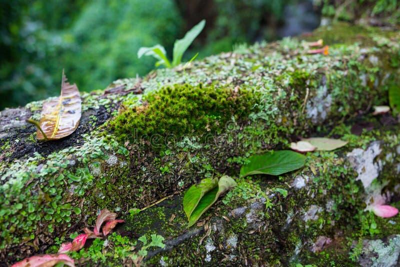 mech zakrywający kamień Piękny mech i liszaj zakrywający kamień Jaskrawy - zielony mech tło textured w naturze naturalny zdjęcie royalty free