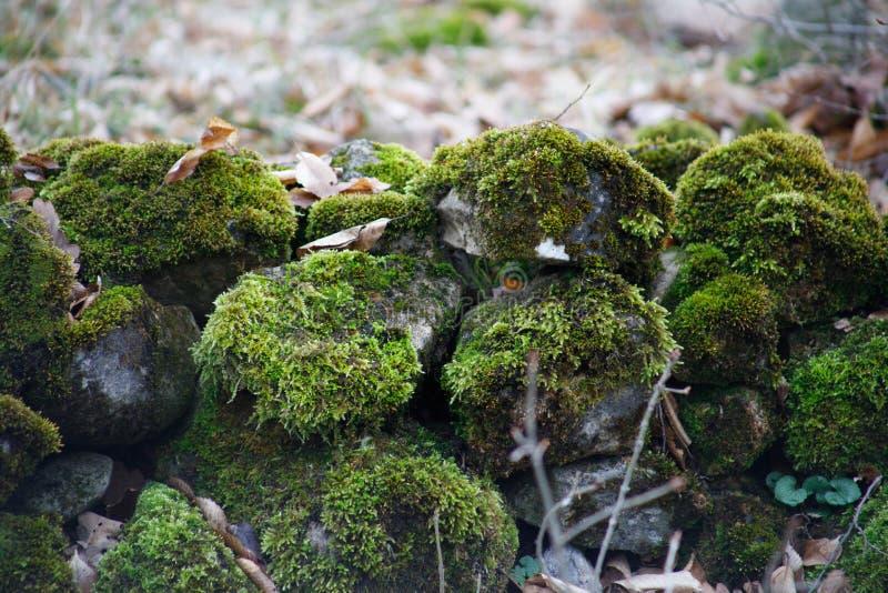 mech zakrywający kamień Piękny mech i liszaj zakrywający kamień Jaskrawy - zielony mech tło textured w naturze Naturalny mech na  zdjęcie stock