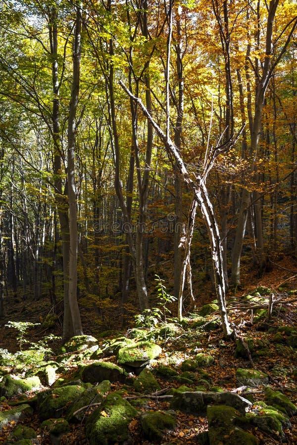 Mechaci kamienie w zwartej jesieni deciduous lesie w Vitosha górze, Bułgaria fotografia royalty free